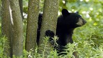 VIDEO: House kitty scares off prowling black bear