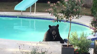 VIDEO: Couple find bear hanging out in their pool