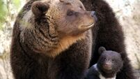 The US may allow grizzly bears to be hunted again in the Rocky Mountains