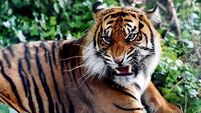 The tiger population has risen for the first time in decades
