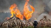 Kenya burns ivory from more than 8,000 elephants in protest against trade