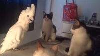 Parrot leaves cats utterly baffled by mimicking their meows