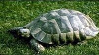 Remember Schumacher the missing tortoise in Cork -he's been found!