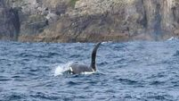 Rare sighting of killer whale off the Kerry coast