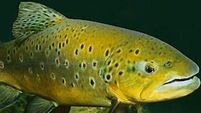 Irish Examiner View: New sea trout research shows growing threat to stocks