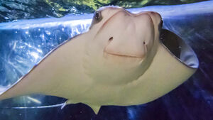Local schoolboy wins competition to name 'first tropical stingray ever born in Ireland'