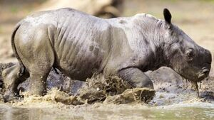 South African rhino breeder plans online auction of horn
