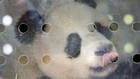 Berlin rolls out red carpet as giant pandas arrive from China