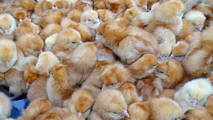 VIDEO: Around 1,000 chicks found abandoned in UK field