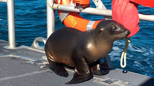 Sea lion caught in fishing gear rescued in US