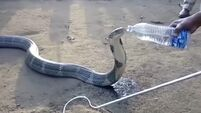King cobra drinks water from a bottle during Indian drought