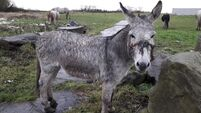 ISPCA looking for owner of donkey rescued with 'horrific head injuries' from rope head-collar