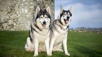 Game Of Thrones drives surge in popularity of 'wolf lookalike' dogs