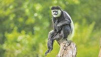 Latest: Escaped monkey Cheeky Chops back in Fota enclosure