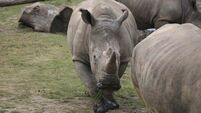 US court jails Irish man for smuggling cup made of rhino horn