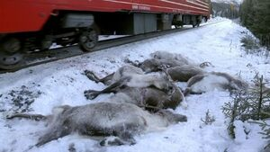 More than 100 reindeer killed in three days by trains in Norway