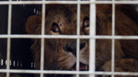 Lions rescued from Middle East war zones heading for South African sanctuary