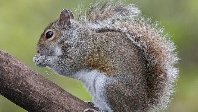Grey squirrels pushing out the reds