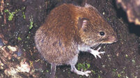 Intrepid voles likely came to Ireland via Foynes machinery