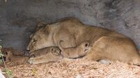 First ever Asian Lion cubs born at Fota Wildlife Park