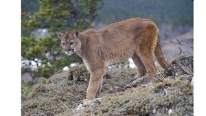 Gardai say no official reports of 'Puma' sightings in county Cork despite growing rumours