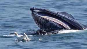 WATCH: Humpback whales feeding massive pods of dolphins off the coast of Cork