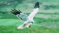 Donal Hickey: Breeding habits of harrier