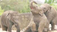 Watch these cute baby elephants messing around in the mud in Dublin Zoo
