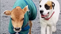 WATCH: This dog and baby cow will leave you saying #BestFriendGoals