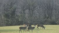 A sad symptom: Killarney deer cull