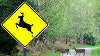 Deer cull urgently needed to protect motorists of North Cork