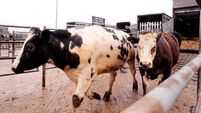 Denis Lehane analyses the effect of the Scrooge-like beef barons on the cattle mart trade