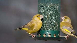 Richard Collins: Red alert issued on friendly green finch