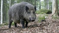 Danes not sitting on fence with wild boar problem