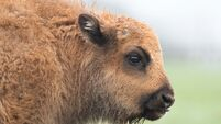 LOOK: Baby European Bison Born at Fota Island Wildlife Park