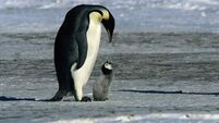 Purists may pop a vein but these penguins surely needed a pick-up