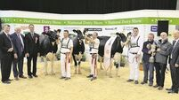 TV star Lisnalty Megasire Rituel is 'Irish Examiner' National Dairy Show Champ
