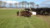 Teagasc advice for cattle farmers: Costs €480-900 to keep a suckler cow