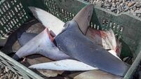 Shark experts urge new MEPs to stop shark fin fishery