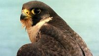 Claim over alleged agreement for breeding of falcons comes before High Court
