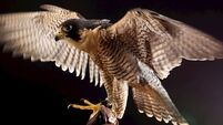 Row between Abu Dhabi man and Wicklow couple over breeding of falcons sent for mediation