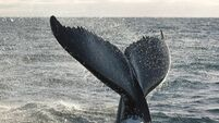 Humpback whales in Irish waters are born in Africa
