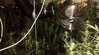 Louth gardaí investigating cannabis discovery with estimated street value of €40,000