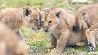 Fota announces birth of endangered lion cubs