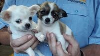 Revenue seize two puppies in Dublin Port