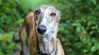'Retirement homes' for greyhounds must have facilities for other animals