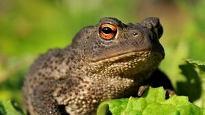 Study underway of common toad found in Dublin