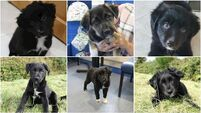 Six abandoned puppies among animals rescued by ISPCA this month