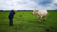 Beef encounter: Happy end to tale of Benjy the gay bull