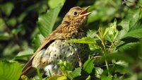 The song thrush gets in tune for the upcoming dawn chorus